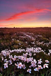 Field of anemones