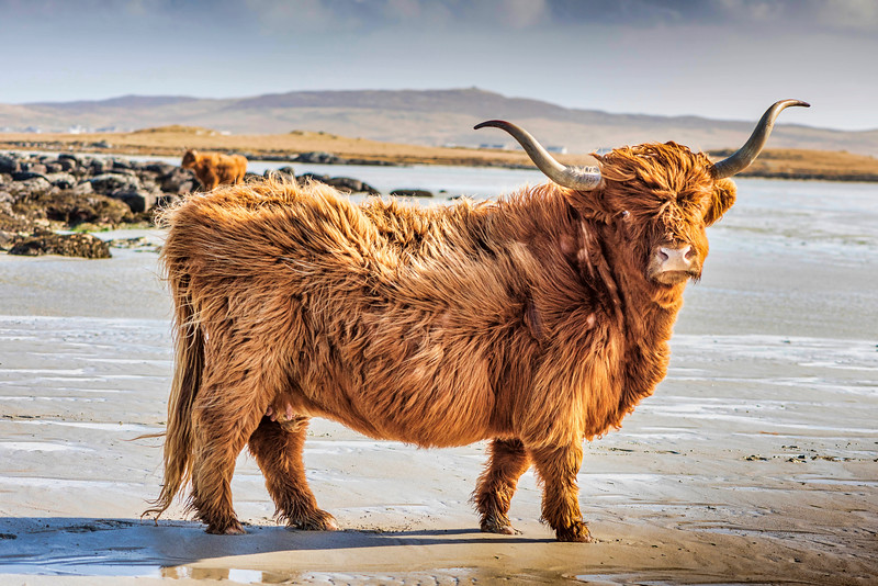 Passing Highland Cow