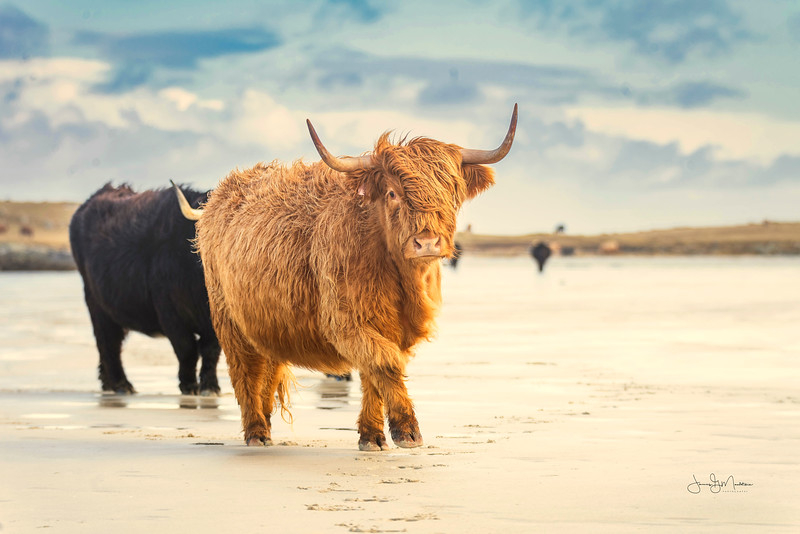 Highland Cow Hebrides