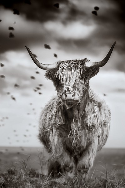 Highland Cow pose