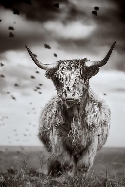Highland Cow pose