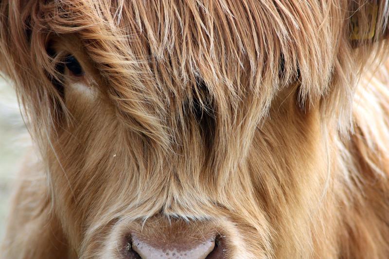 Highland cow Fringe