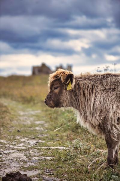 Lone calf