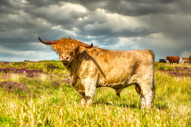 Proud Highland Bull