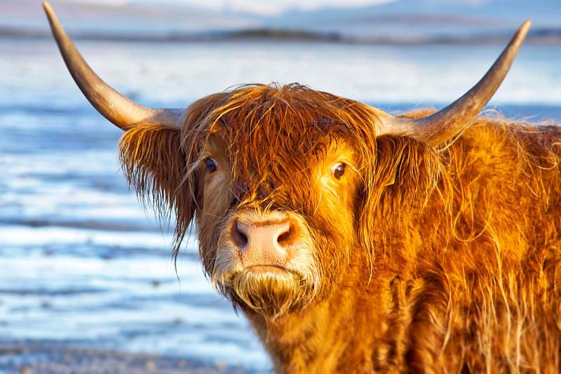 Fierce Highland Cow