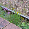 "Flowers along the otherwise litter-strewn railroad tracks. The purple flower is called ""fireweed"" in Alaska."