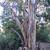 There are several micro-climates on the hill, this one favoring the non-native eucalyptus. These next pictures show some large stands of very large trees, shedding their skin for the next growth phase.