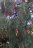 A pepper tree with seed pods hanging
