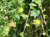 Wild cucumbers on the vine, round and spiky.