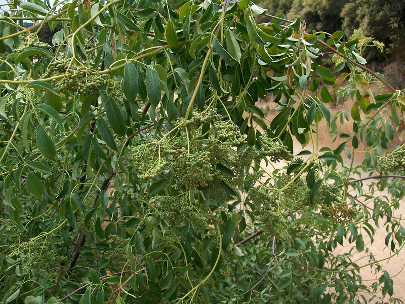 A young elderberry tree, heavily laden with fruiting branches.