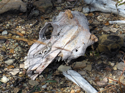 Closer view of the skull.  Perhaps someone with better knowledge of mammal skulls can confirm it is a mule deer?