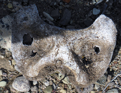I think this is the atlas.  We speculated that the two large holes could be from the canines of a mountain lion, but it is probably just as likely they are from weathering of the skeleton.  So much for our forensic backpacking skills!