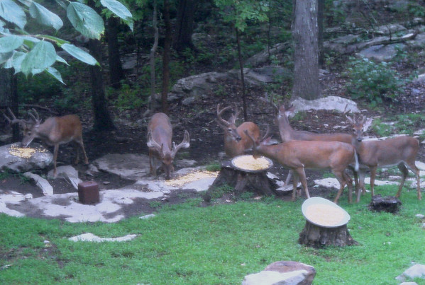 10Aug-Sept_Our Deer