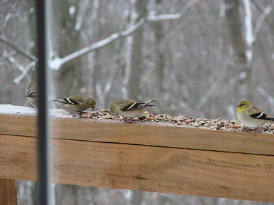 Goldfinches wearing their winter coats.