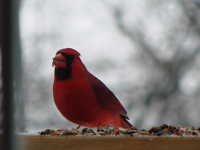 Mr. Cardinal.    I'm hoping the woodpecker will come back.  He's just a red belly but so big he leaves room for no one else at the feeder.  But he sure is cool!