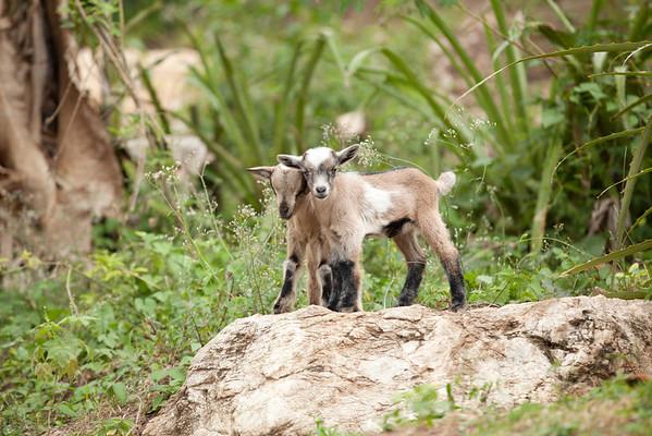 Goats in Milot, Haiti.<br /> Photos from Hopital Sacré Coeur, the CRUDEM foundation, and Holy Name Medical Center's involvement in Milot, Haiti.  Photo by Jeff Rhode / Holy Name Medical Center 3/14/13