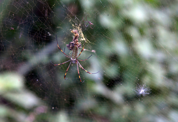 """A 3""""  spider in a web in Milot, Haiti.<br /> <br /> Photos from Hopital Sacré Coeur, the CRUDEM foundation, and Holy Name Medical Center's involvement in Milot, Haiti.  Photo by Jeff Rhode / Holy Name Medical Center 9/6/12"""