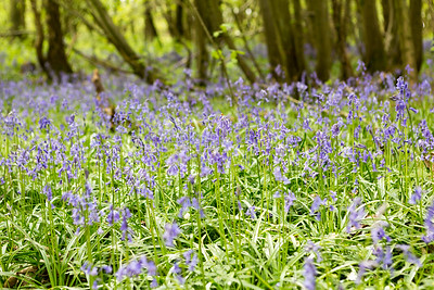 20170430 Bluebell Walk