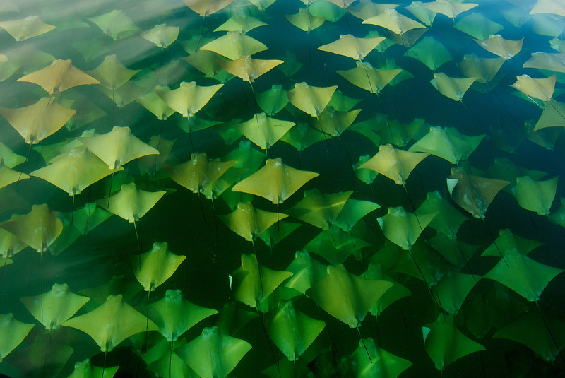 Cownose Rays Migration