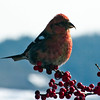 White-winged crossbill, male perched on Winterberry, ilex verticilata, red berries, Maine winter scene