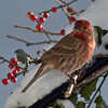 rosy pink House finch, male perched in snow with red winterberries and holly, Phippsburg, Maine winte bird