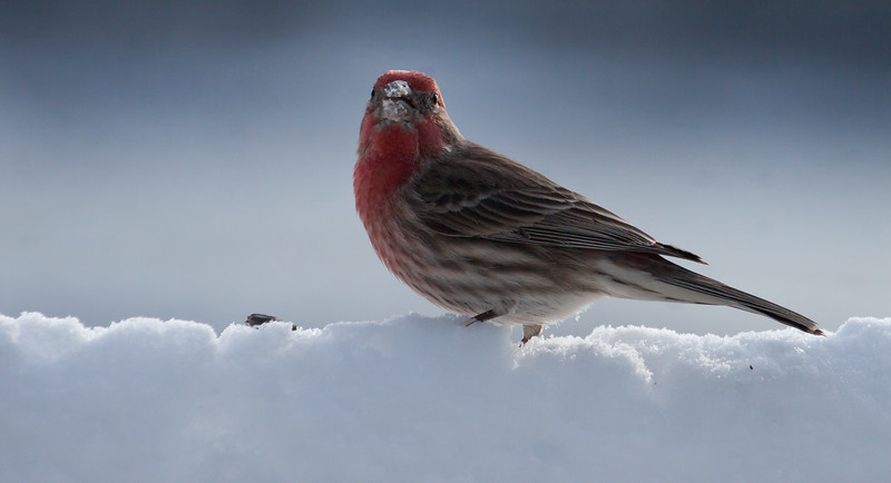 House finch, male in snow with bird seed, side view, forward facing, small bird in winter, Phippsburg, Maine. This would make a pretty holiday card