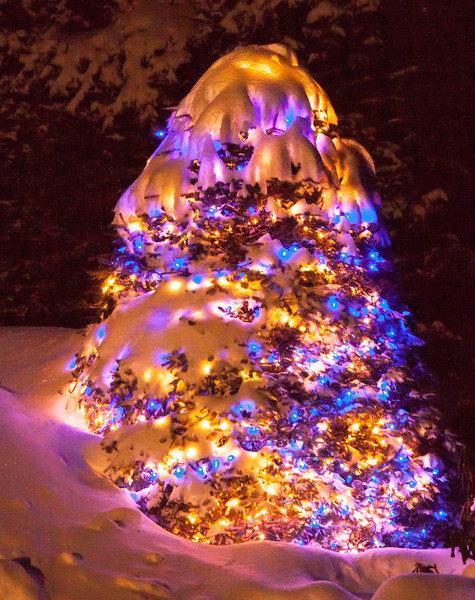 a snow covered Balsam tree decorated for the winter holidays with blue and white lights, Phippsburg Maine
