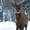 Deer in snow, Jefferson, Maine, winter scenic