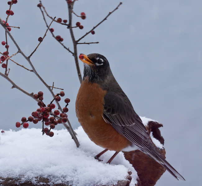 North American robin in snow eating red Winterberry, Phippsburg, Maine winter bird with food
