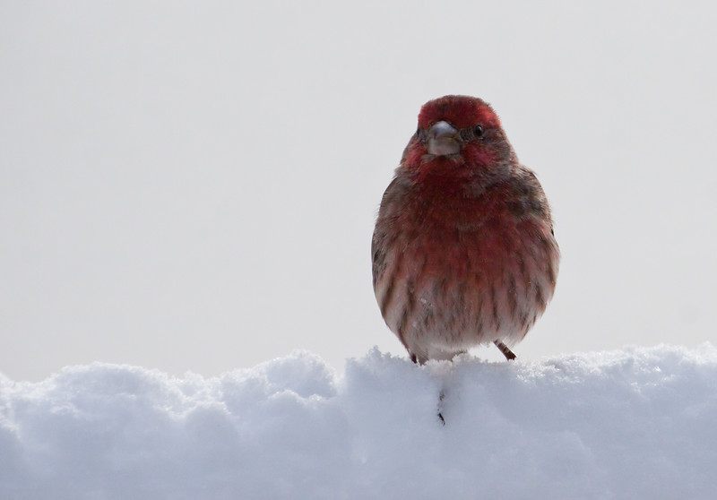 male House finch in snow, forward facing frontal view, Phippsburg, Maine bird in winter, cute card!