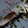 Purple finch in snow with winterberries, Phippsburg, Maine winter birds