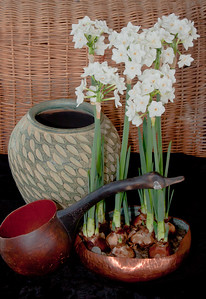 Paper White narcissus flowers in hand hammered, copper dish, flowers forced from bulbs in winter