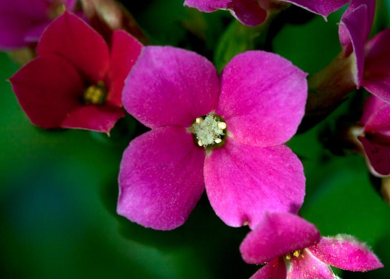 Hot pink Kalanchoe close up, , cult
