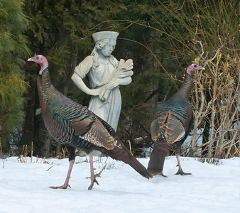 Wild turkeys in my coastal Maine Phippsburg garden in February, admiring garden statuary?