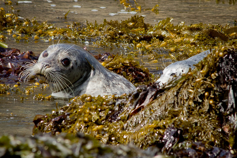 Grey harbor seal and pup, Yaquina Bay State Park