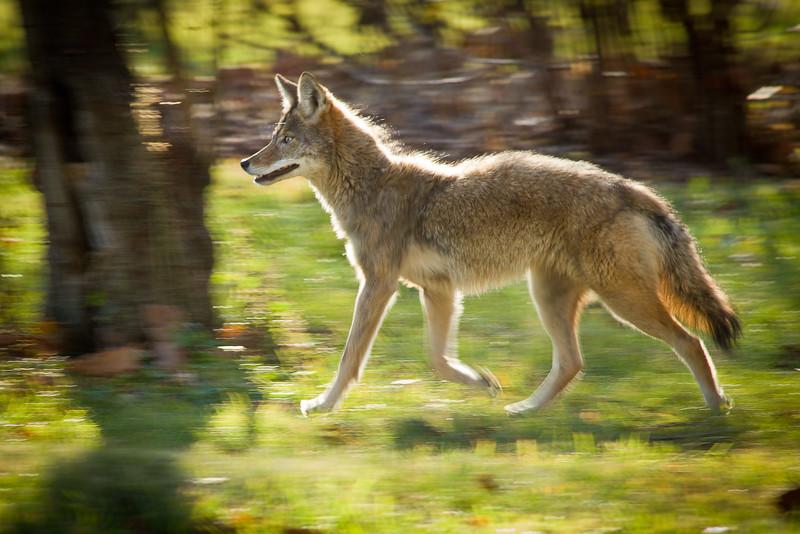 A coyote powers across Morton Arboretum