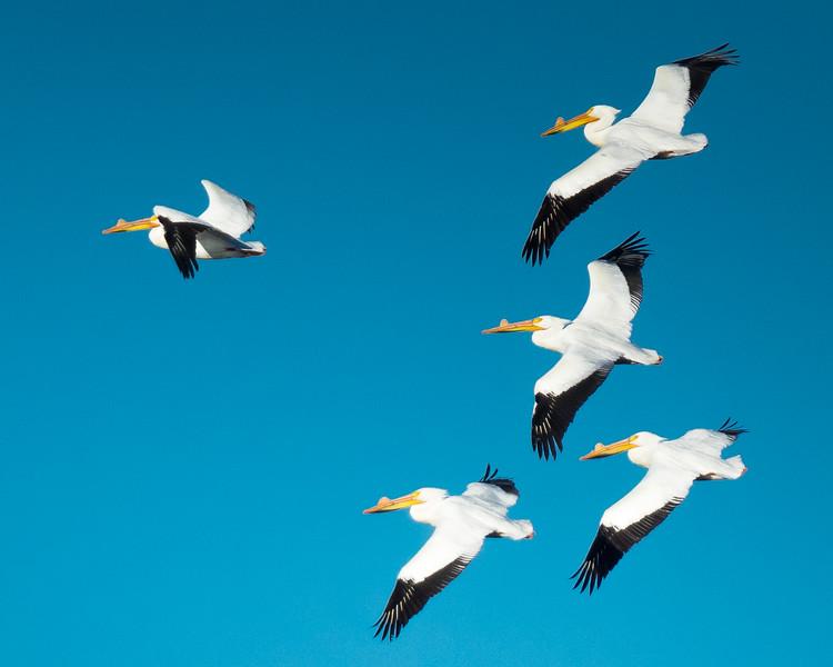 White Pelicans at Rock River, Illinois