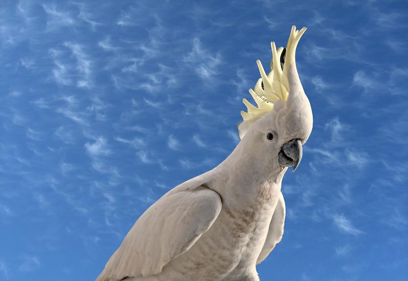 Australian Sulphur Crested Cockatoo close-up