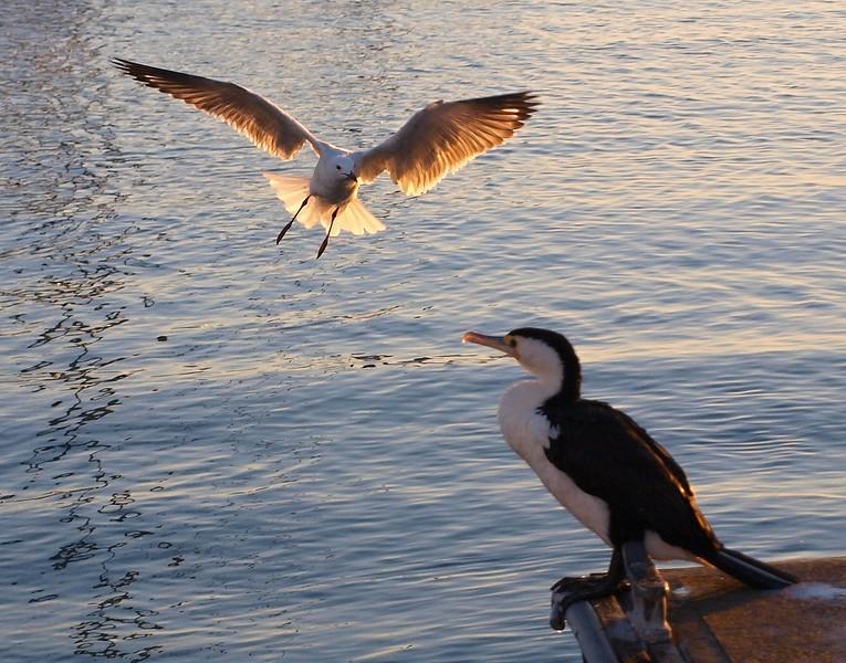 Silver Gull wth landing gear down.