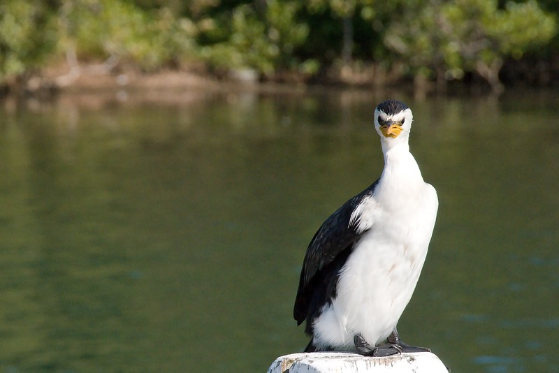 Angry Cormorant Bird standing on a post.