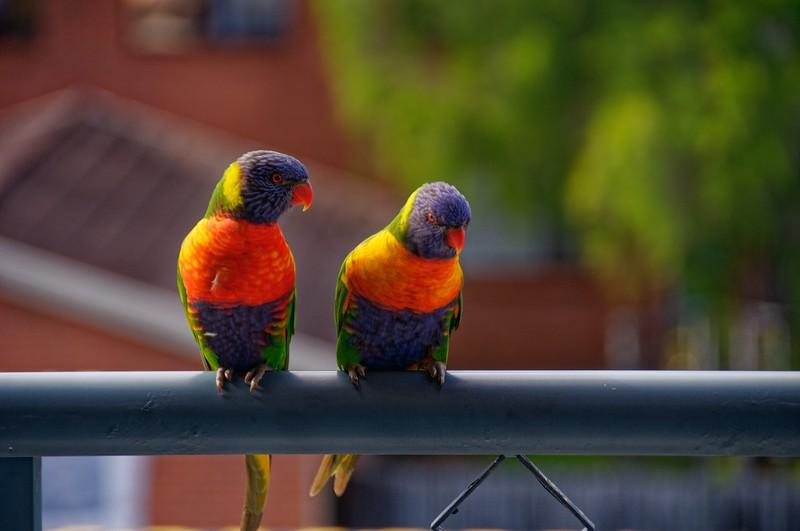 A colourful pair of vibrant Australian Rainbow Lorikeets on a balcony. Gosford Australia.