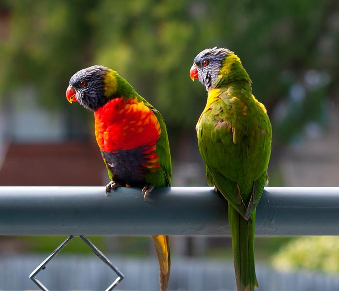 A pair of Rainbow Lorikeets.