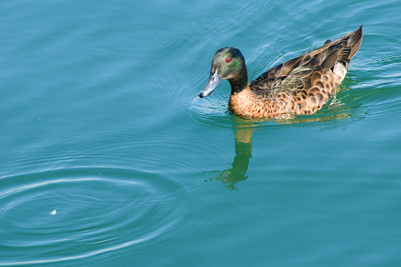 Duck feeding in the calm waters of Sydney Harbour.