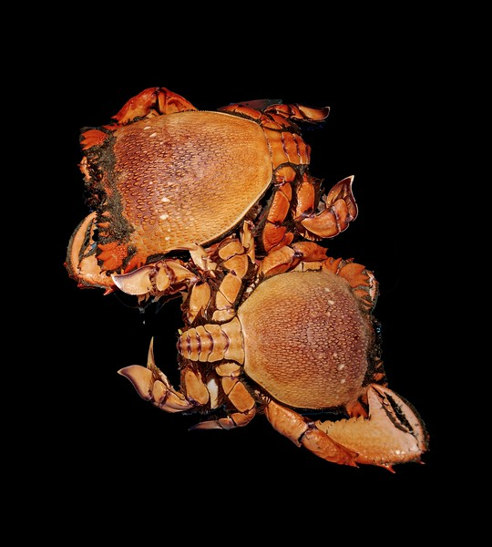 Seafood serving of Spanner or Red Frog Crab.