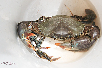 Mud Crab Close Up .