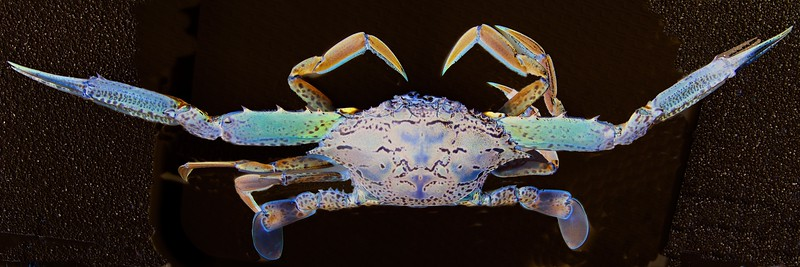 Blue Swimmer Crab Art closeup.