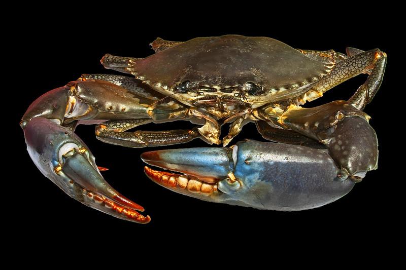 Live Australian Giant Mud Crab closeup.