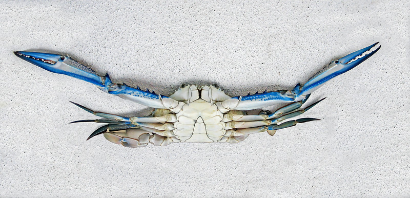 Colourful Live male Blue Swimmer Crab. Underbelly view.