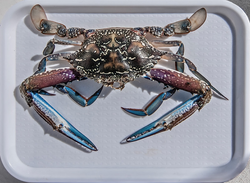 Uncooked Blue Swimmer Crab on a tray.