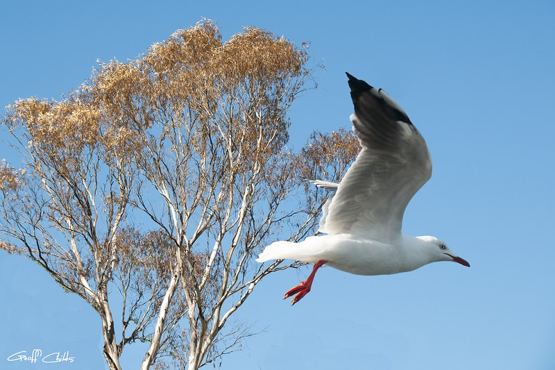 Beautifull Australian Seagull. Exclusive Photo Art.